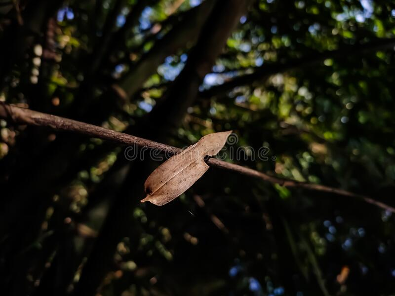 A dry lighted bamboo leaf is stuck on a trees branch, and this photo has amazing background blur and selective focus on the. Background etc royalty free stock photos