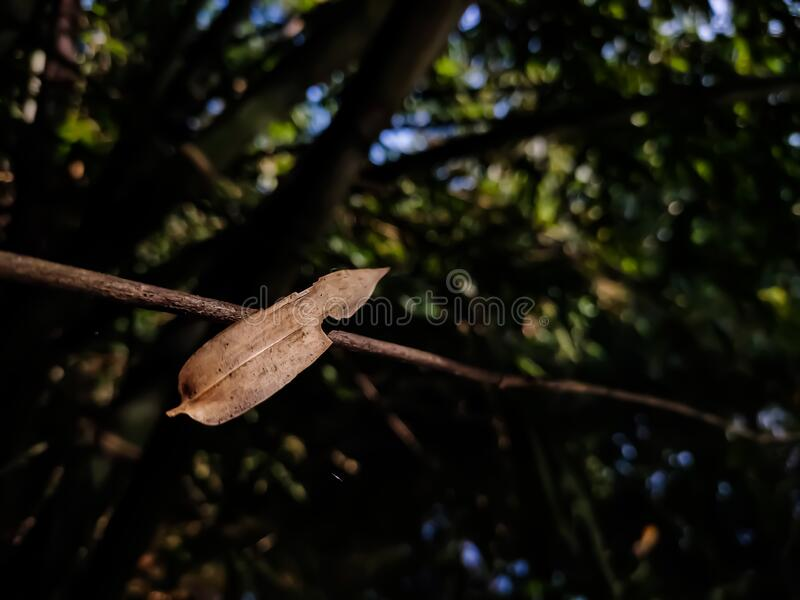 A dry lighted bamboo leaf is stuck on a trees branch, and this photo has amazing background blur and selective focus on the. Background etc royalty free stock photo