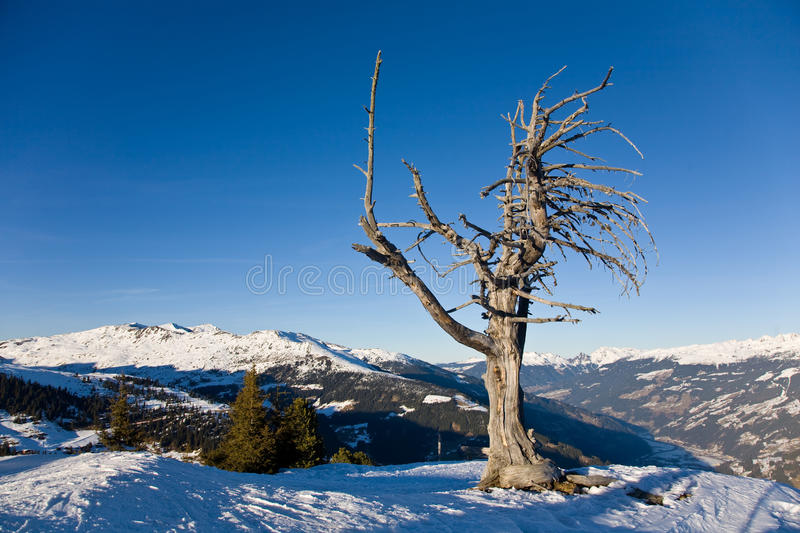 Download Dry lonely tree stock photo. Image of alps, branches - 19102232