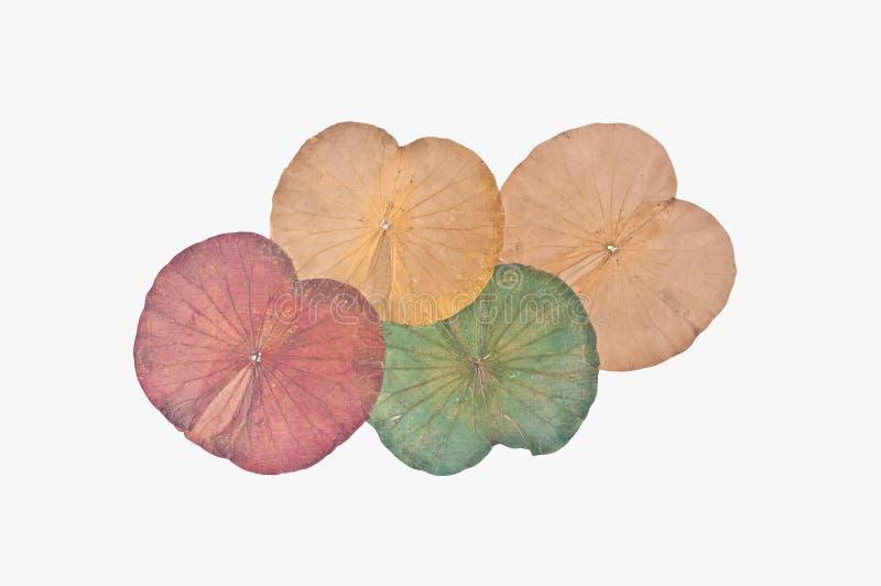 Dry lotus leaf stock photos