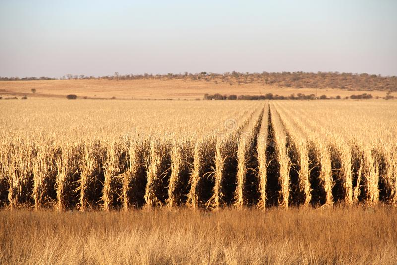 Farm in Potchefstroom, South Africa. Dry maize field ready for harvest stock photos
