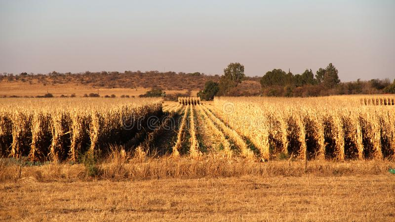 Dry maize field ready for harvesting on the farm in the Northwest, South Africa. Dry maize field ready for harvesting royalty free stock photography