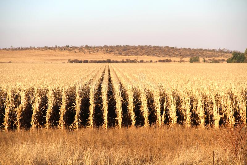 Dry maize field ready for harvesting on the farm in the Northwest, South Africa. Dry maize field ready for harvesting royalty free stock images