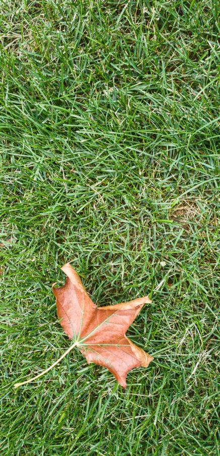 Dry maple leaf on green grass. royalty free stock images