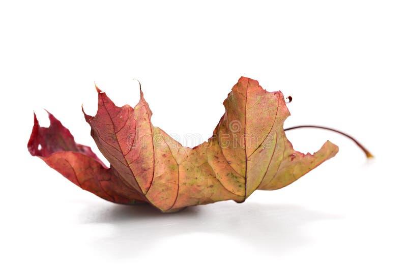 Dry mapple leaf royalty free stock photo