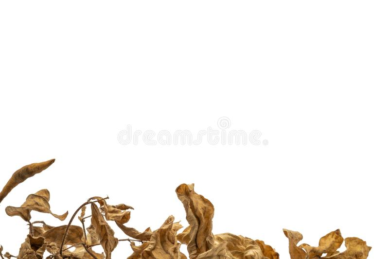 Dry mung bean branches isolated on white background stock image