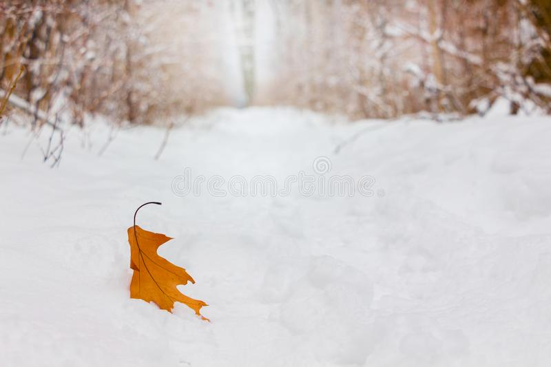 Dry oak leaf on white snow in forest stock photography