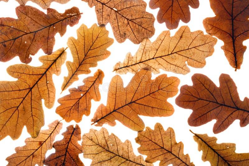 Dry oak leaves stock image