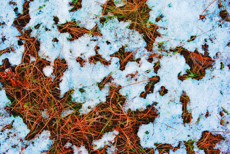 Dry old grass and first green spring sprouts covered with white snow, natural background. Top view royalty free stock image