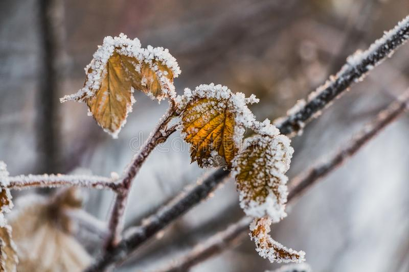 A dry orange frozen raspberry leaves with white snow in a winter garden. A dry orange frozen raspberry leaves with white snow are in a winter garden stock photos