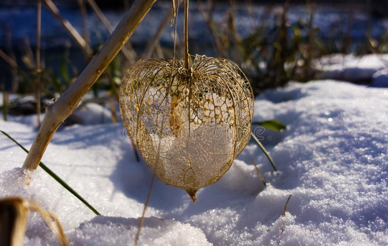 Dry physalis detail on in the snow in winter. Slovakia stock photography