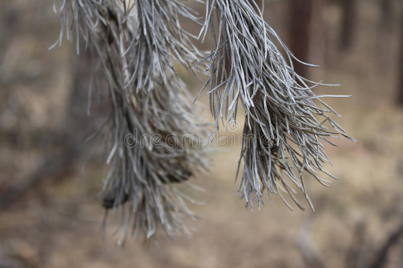 Dry pine branch royalty free stock images