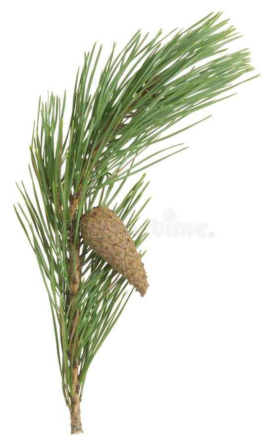 Free Dry Pine Cone And Needles On A Twig Isolated On White Background Royalty Free Stock Image - 94408806