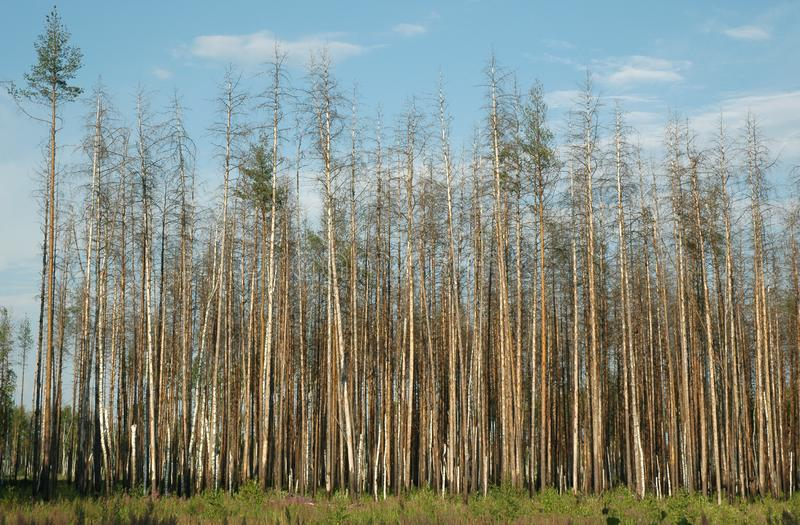 Dry pine forest