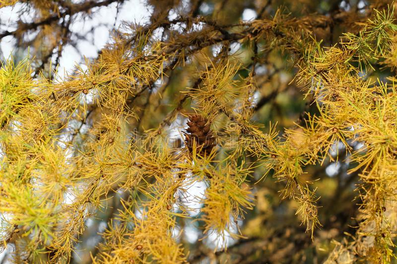 Dry pine tree with cones on the background of the sea. dry branches of trees and cones royalty free stock photography