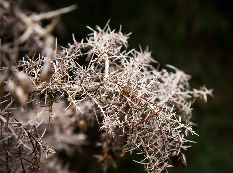 Download Dry plant stock photo. Image of thorn, prickly, thorny - 21293944