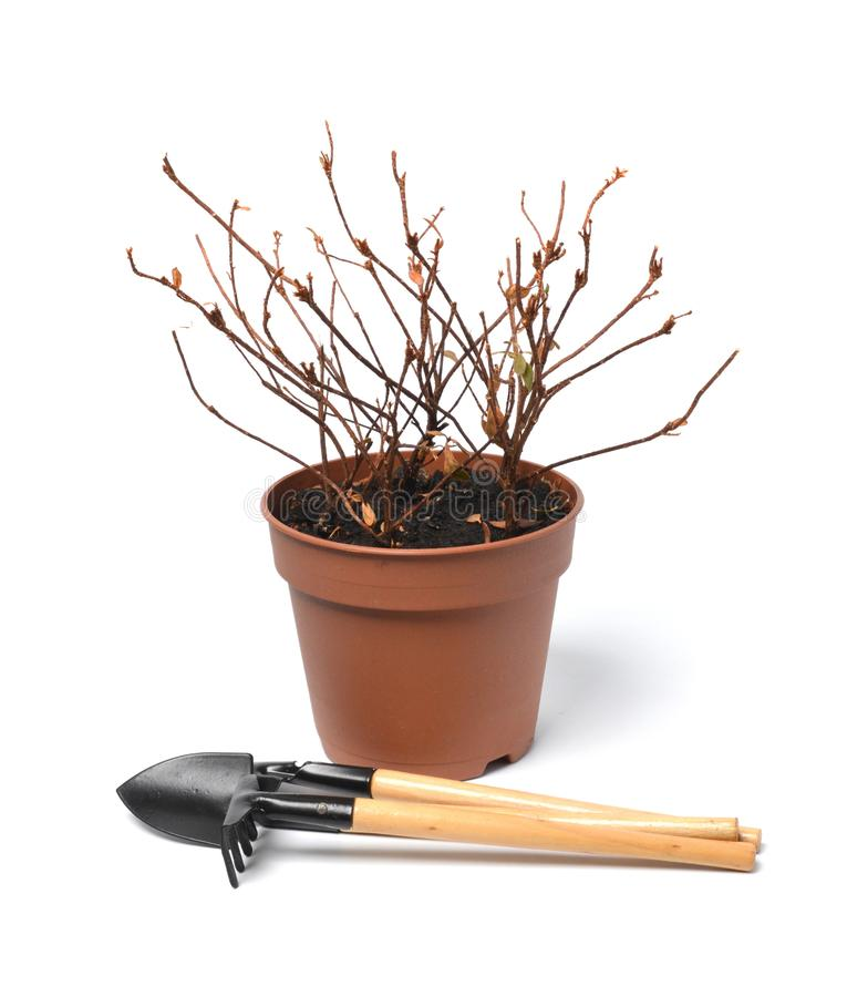 Dry plant in a pot and the garden tool. On a white background royalty free stock photography