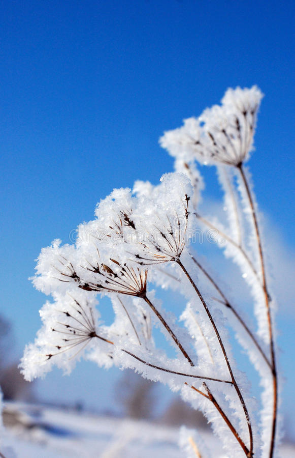 Free Dry Plant Under Snow Royalty Free Stock Photography - 13372907