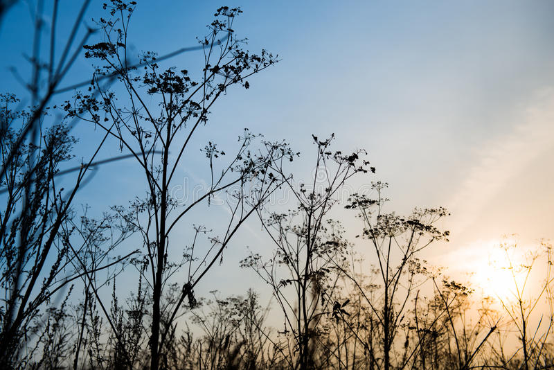 Dry plants. Against the sunset sky stock image