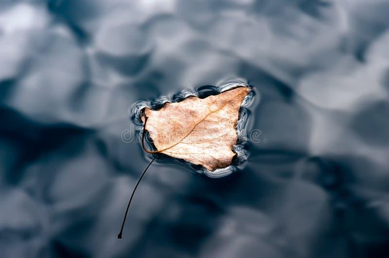 Dry poplar leaf in floating dark water, closeup. Dry poplar leaf in dark water, floating autumn poplar leaf. Autumn background royalty free stock photos