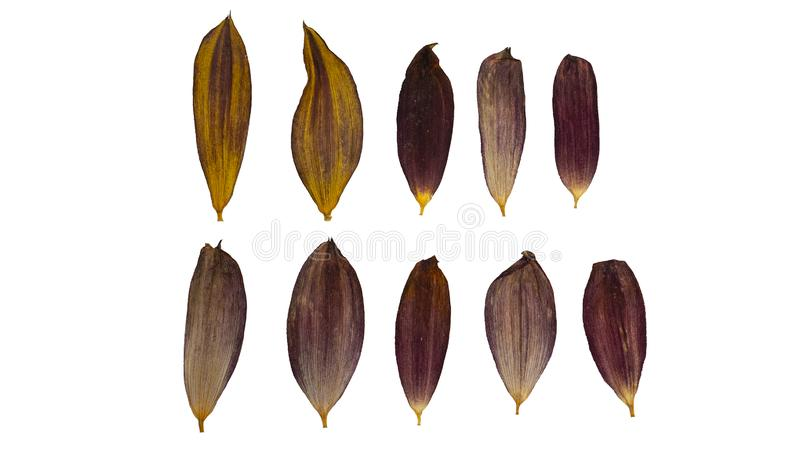 Dry and pressed flower petals. Herbarium. Dry plants. Petals set royalty free stock image