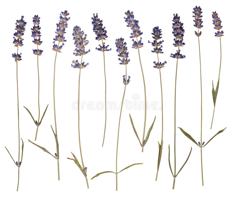 Dry pressed lavender royalty free stock photography