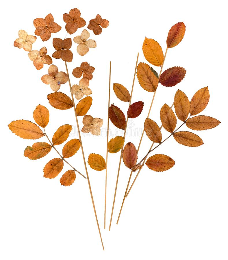 Pressed leaves mountain ash, blades of grass and flowers celand. Dry pressed orange leaves mountain ash, blades of grass and flowers celandine blossom stock images