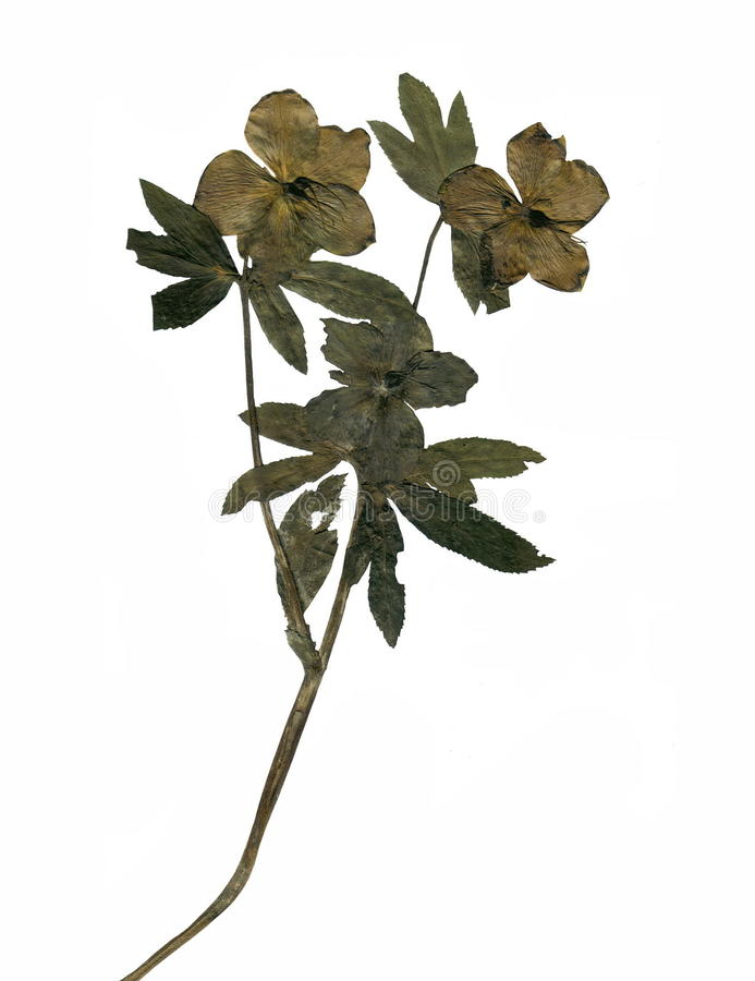 Dry pressed plant. stock photo