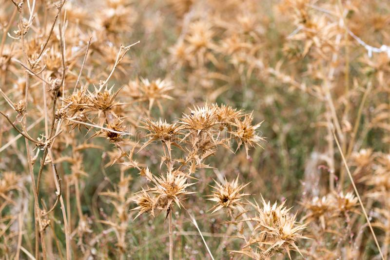 Dry prickly grass outdoors royalty free stock images