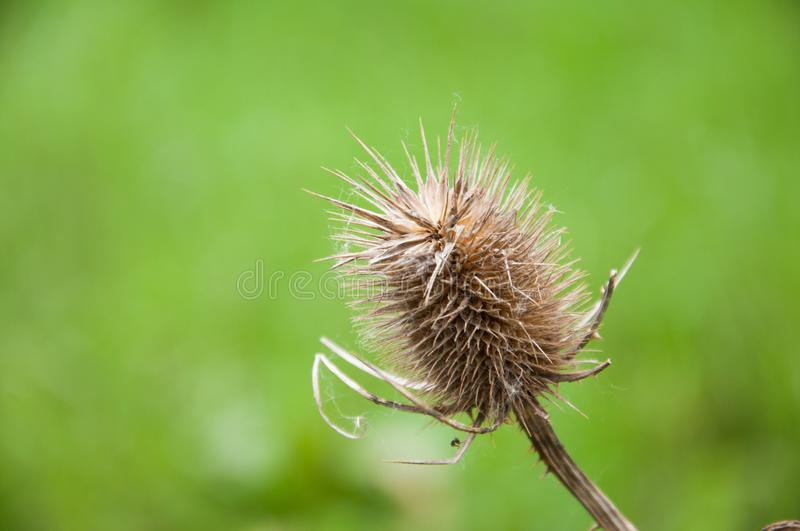 Dry prickly plant grows in a meadow. royalty free stock image