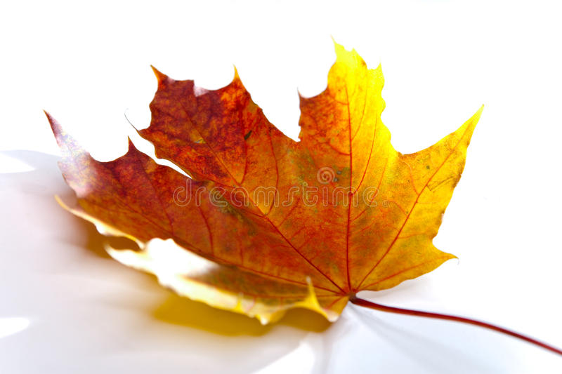 The dry red autumn fallen leaf of a tree on a white background royalty free stock image