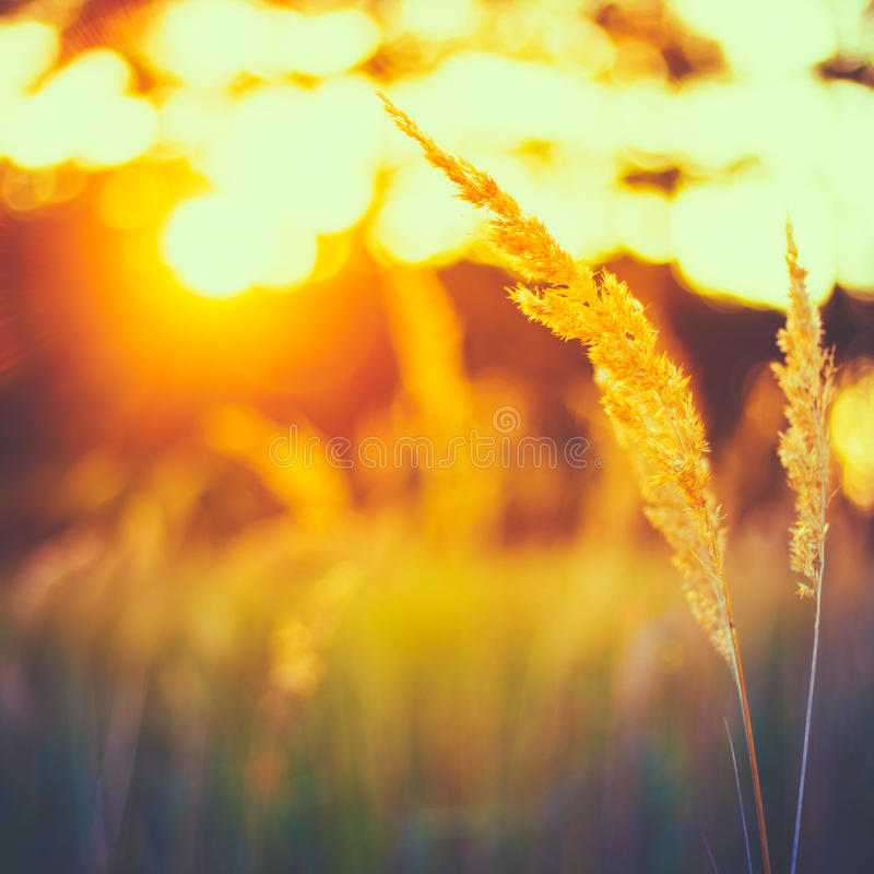 Free Dry Red Grass Field Meadow Royalty Free Stock Photos - 47983228