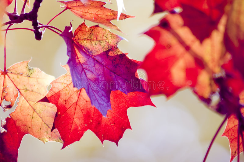 Dry Red Maple Leafs Royalty Free Stock Photography