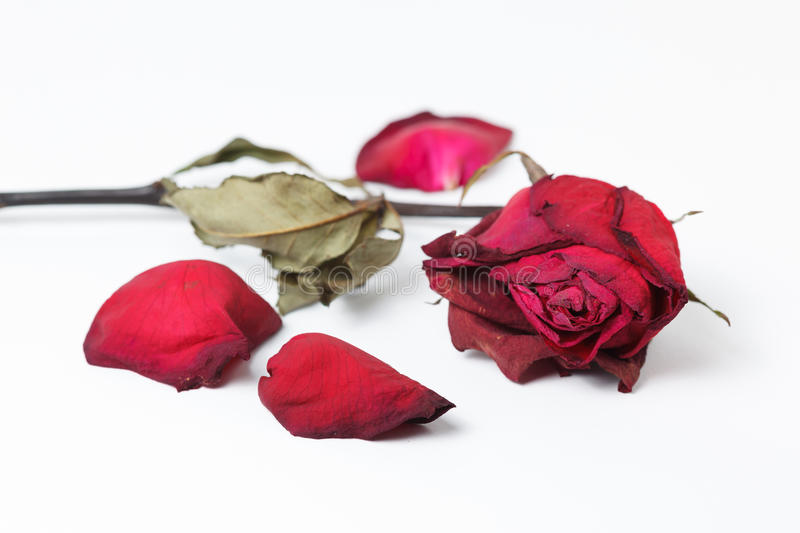 Dry red rose isolated stock photo image of plant death 37223460 download dry red rose isolated stock photo image of plant death 37223460 mightylinksfo