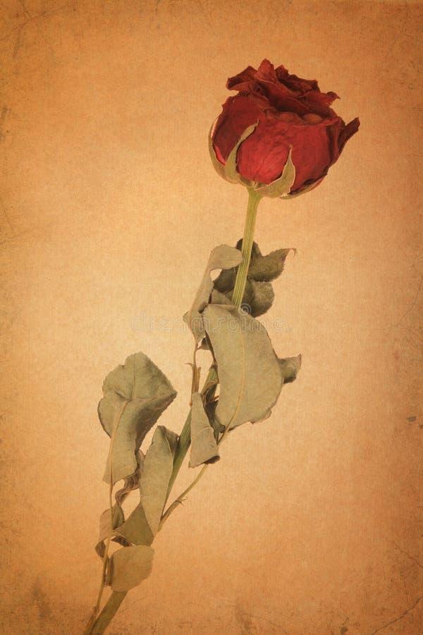 Dry red rose on old brown grunge paper. Background vector illustration
