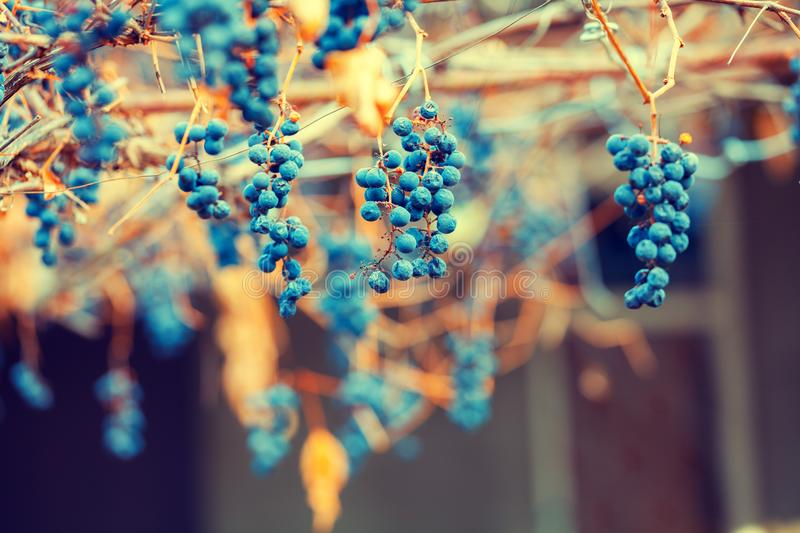 Dry red wine grapes on the grapevine stock photo