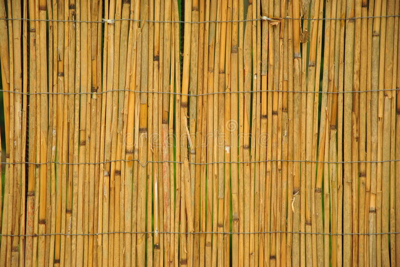 Dry reed. Reed background with detailed texture stock photo
