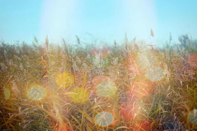 Dry reed cane, bulrush in meadow and beautiful autumn day stock images