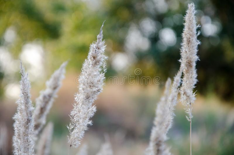 Dry reed on the lake, reed layer, reed seeds. Golden reed grass in the fall in the sun. Abstract natural background stock image