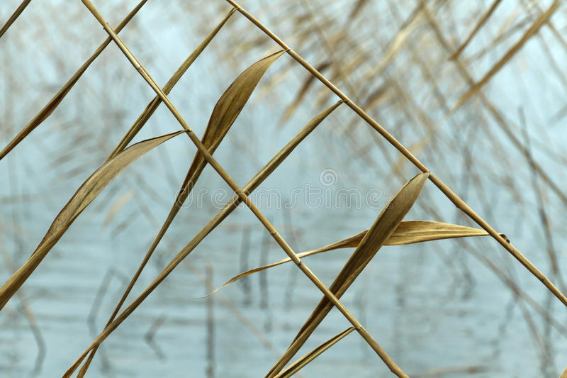 Dry reed pattern. Abstract seasonal autumn background: dry plant / reed / reeds bush closeup forming a geometric pattern with blurred water as a backdrop. Can be royalty free stock photos