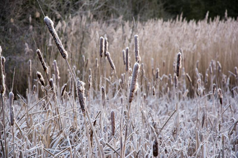 Dry reeds and grassed on a cold morning with a layer of frost. Dry reeds and grass on a frosty winters morning at Bumble Hole Nature Reserve in Dudley, West stock images