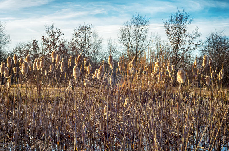 Dry reeds. Landscape with dried reeds in a small swamp royalty free stock photography
