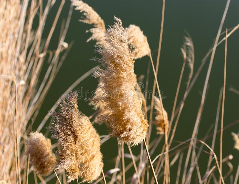 Dry reeds on the nature stock image