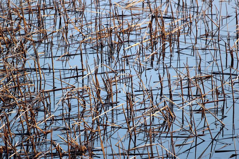 Dry reeds in a pond.  stock photography