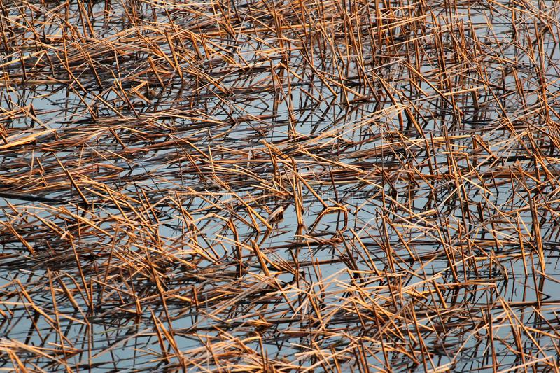 Dry reeds in a pond.  royalty free stock photography