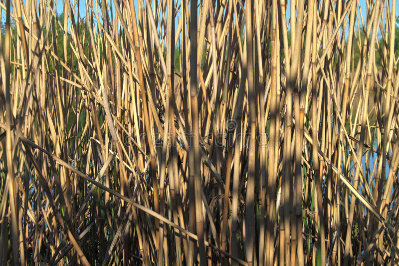 Dry reeds royalty free stock image