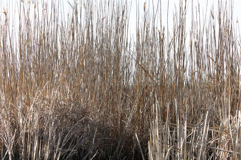Dry reeds in the swamp background. River royalty free stock images