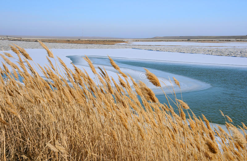 Dry Reeds in the Winter. Dry reeds on the bank of the Syr Darya river in the winter in Kazakhstan royalty free stock photos