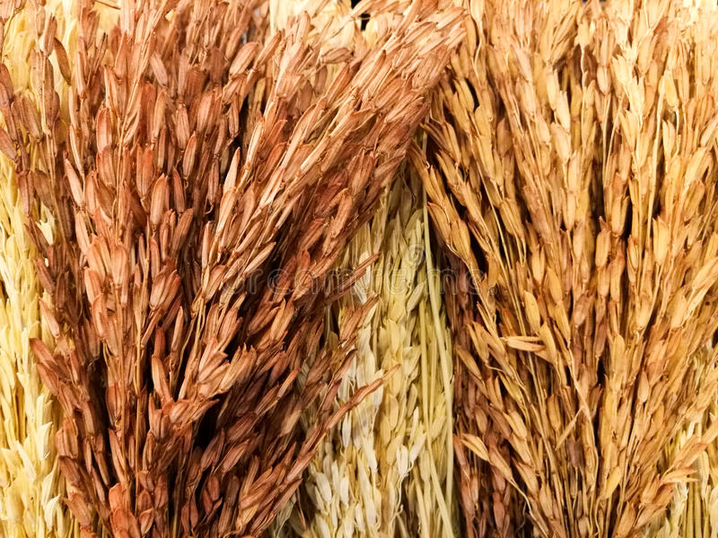 dry rice bunch, textured background stock photography