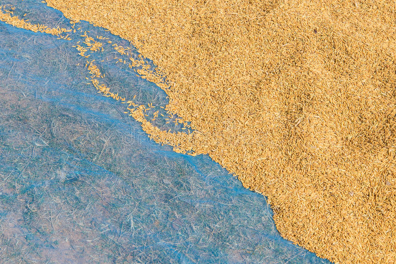 dry rice on canvas after harvesting stock images